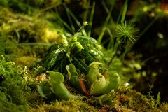 Runda-leaved sileshår, Droserarotundifolia, i peatmoss, sileshår, eller daggväxt eller lustwort, i ett litet köttätande, eller royaltyfri fotografi