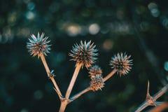 Runda och torka frukt av eryngiumyuccifoliumen i natur arkivbilder