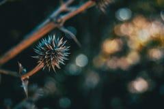 Runda och torka frukt av eryngiumyuccifoliumen i natur royaltyfri foto