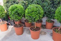 Runda växter för liten myrten royaltyfri bild