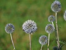 Runda vissnade blommor Arkivfoto