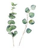 Runde Blätter und Niederlassungen des Aquarelleukalyptus Elemente des handgemalten Babyeukalyptus und des silbernen Dollars Blume Lizenzfreies Stockfoto
