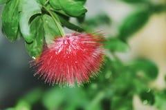 Runde Flaschen-Bürste blüht Calliandra-haematocephala stockfoto