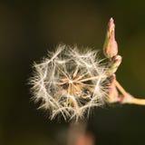 Runde flaumige Blume mit der Knospe Lizenzfreie Stockfotos