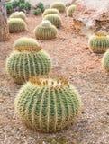 Runde Kaktuspflanzen Lizenzfreies Stockfoto