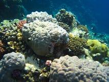 Runde Koralle stockfoto