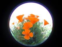 Runde Mohnblumen stockfoto