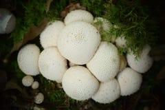 Runde Pilze gruppiert Lizenzfreies Stockbild