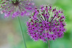 Runde purpurrote Blume Lizenzfreies Stockbild