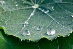 Runde Regenwassertröpfchen auf grünem Kapuzinerkäse treiben Blätter Stockfoto