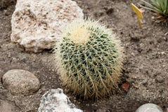 Runder geformter Kaktus unter Felsen Lizenzfreie Stockfotografie