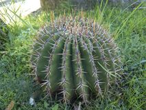 Runder Kaktus Stockfotos