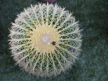 Runder Kaktus Stockbilder