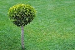 Rundschnittbusch auf einem grünen Rasen Stockbild