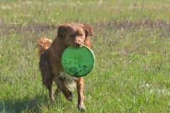 runing与飞碟的新斯科舍鸭子鸣钟人猎犬狗室外画象 库存图片