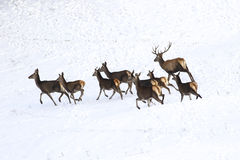 Runing deer and  hinds of red deer in snow Royalty Free Stock Images