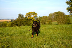 Runing dog stock photos