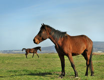 Runing horses Royalty Free Stock Image