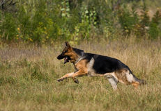 Runing sheepdog Stock Images