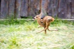 Runinig惊吓了鹿 库存照片
