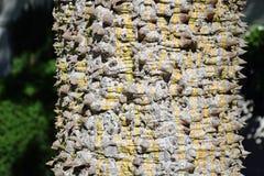 Runk Thorney розового дерева Зубочистк-шелка Стоковое Изображение