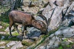 从runlet的克里特岛野山羊饮用水 图库摄影