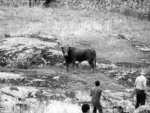 Runnen van stieren in platteland in Spanje in zwart-wit royalty-vrije stock foto