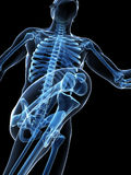 Runner anatomy Royalty Free Stock Images
