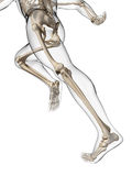 Runner anatomy Royalty Free Stock Photography