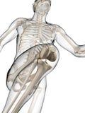 Runner anatomy Royalty Free Stock Photography