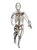 Runner anatomy Royalty Free Stock Image