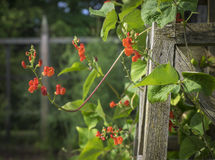 Runner Bean Blossoms on a Garden Trellis. Red orange blossoms of a Runner Bean plant reaching out into the air from the wood treillage obelisk where it is Stock Images