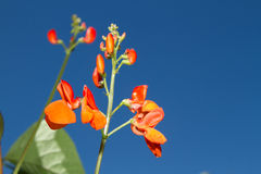Runner bean flowers. Royalty Free Stock Photos