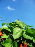Runner Bean Plant. A runner bean plant against a blue sky Royalty Free Stock Image