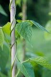 Runner bean plant growing on frame in vegetable garden Stock Image