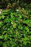 Runner bean plants. Royalty Free Stock Photography