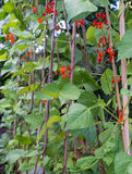 Runner bean row. Runner bean plants in row growing up garden canes Stock Image