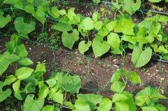 Free Runner Bean Seedlings. Royalty Free Stock Photo - 34291465
