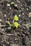 Runner bean seedlings. Single healthy runner bean seedlings Stock Photos