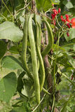Runner beans Stock Photo