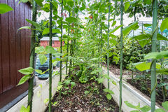 Runner Beans (English Garden) Stock Photography