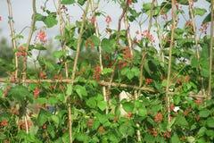 Runner beans in flower. Royalty Free Stock Images