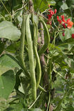 Runner beans growing on vine close up Stock Photography