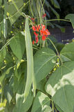 Runner beans growing on vine close up Royalty Free Stock Photo