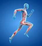 A runner. 3d rendered medically accurate illustration of a runner royalty free illustration