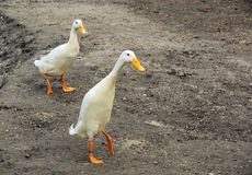 Runner duck Royalty Free Stock Image