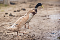 Runner duck couple Stock Photo