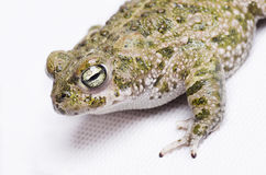 Runner toad (bufo calamita). Spanish sapo corredor Royalty Free Stock Photos
