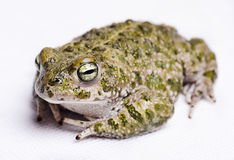 Runner toad. Isolated on white runner toad (Bufo calamita Stock Images