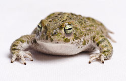 Runner toad. Isolated on white runner toad (Bufo calamita, spanish sapo corredor Royalty Free Stock Image